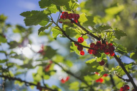 Red currant 2 - free stock photo
