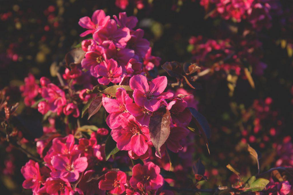 Tree blossom 2 - free stock photo