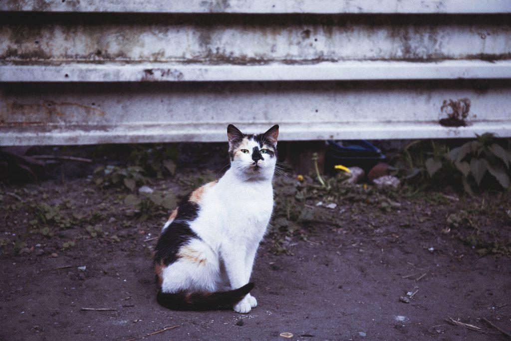 Tricolor cat - free stock photo