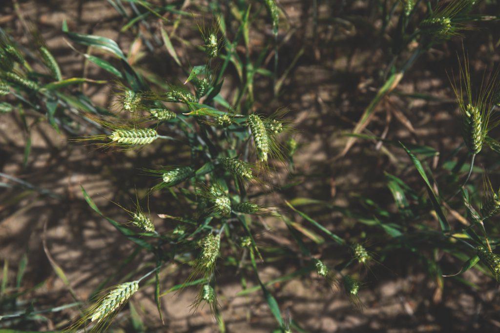 Vertical shot of barley - free stock photo