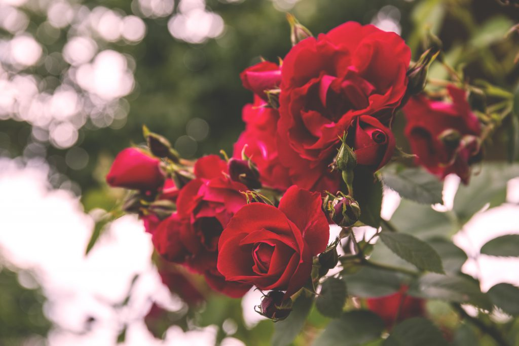 Wild roses - free stock photo