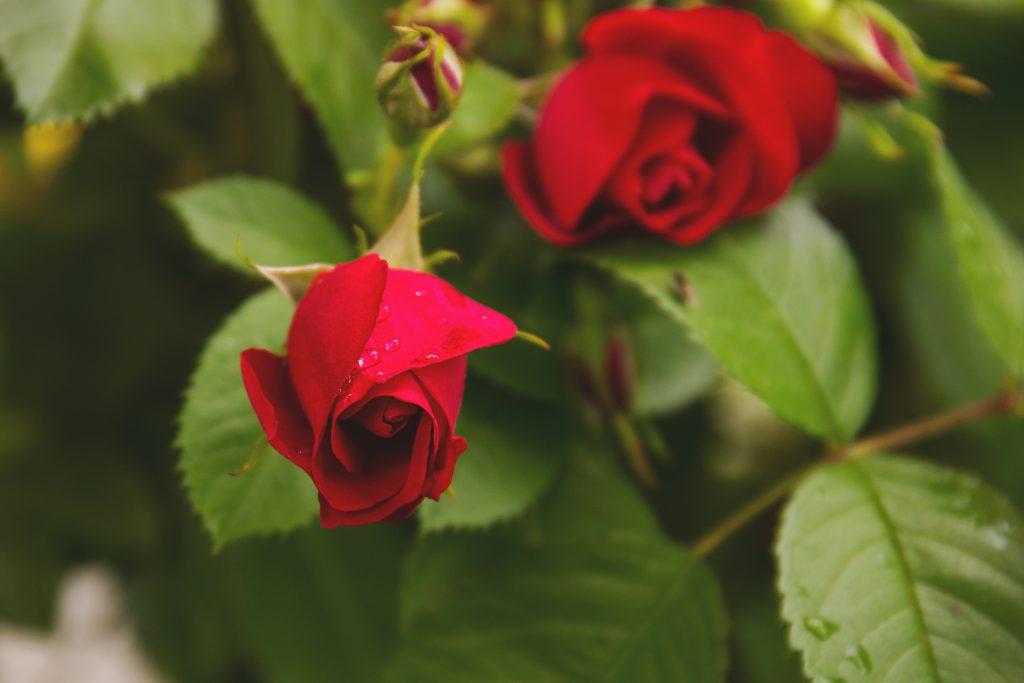 Wild roses 2 - free stock photo