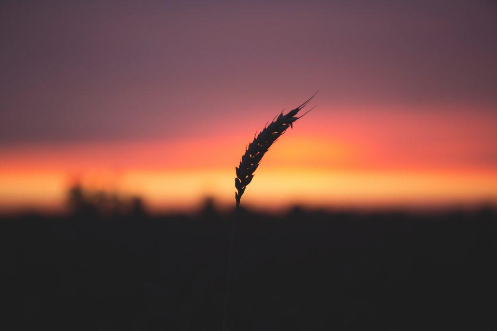 Blade of wheat in twilight - free stock photo