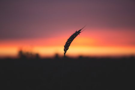 Blade of wheat in twilight