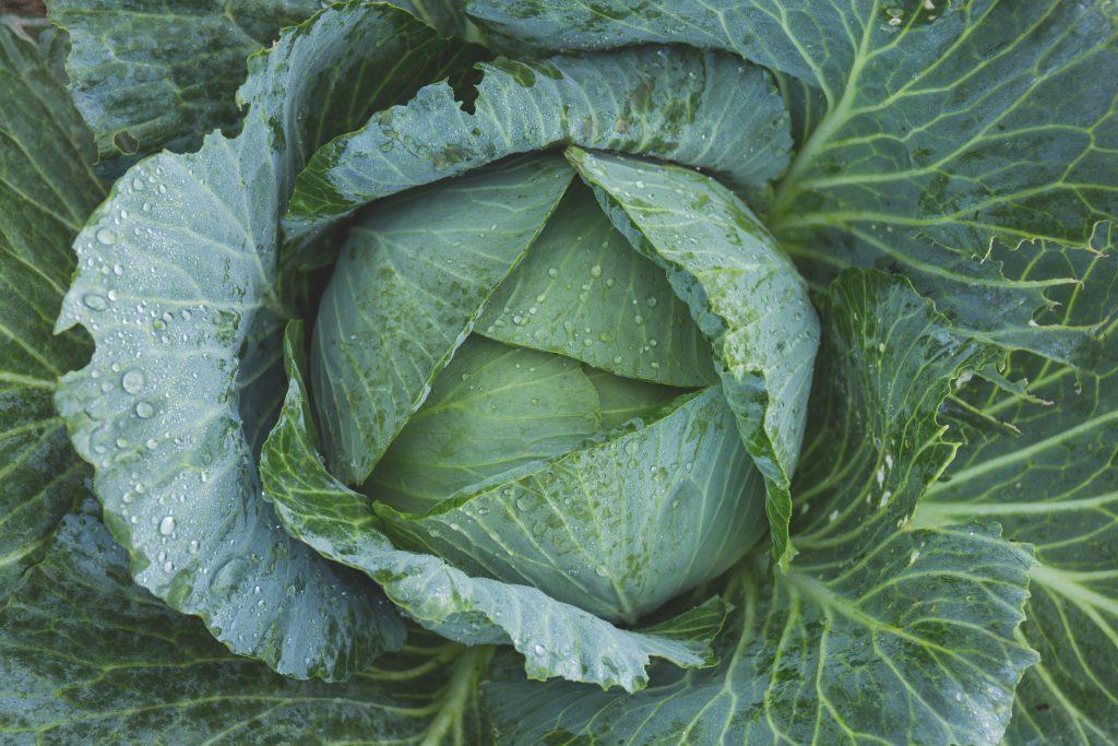 Cabbage - free stock photo