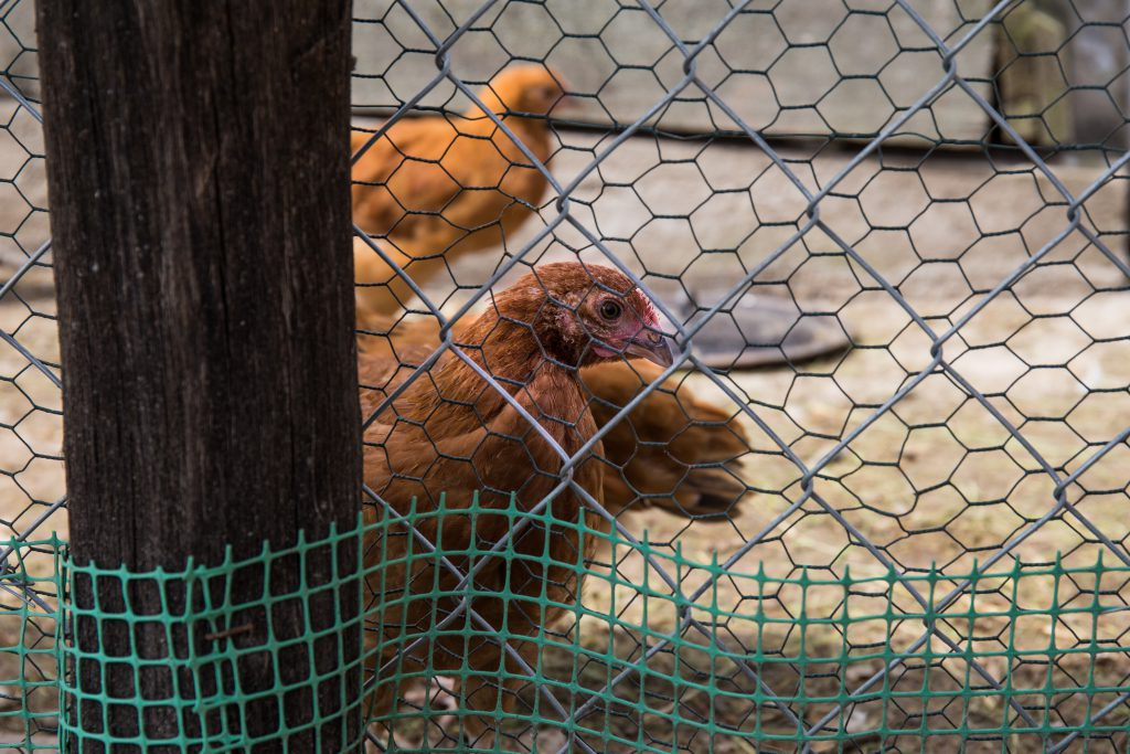 Chickens 2 - free stock photo