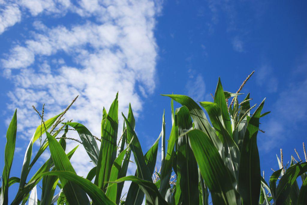 Cornfield 2 - free stock photo