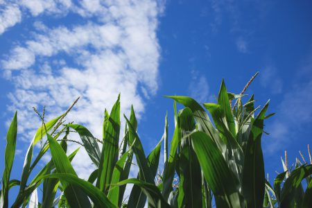 Cornfield 2 - free stock photo