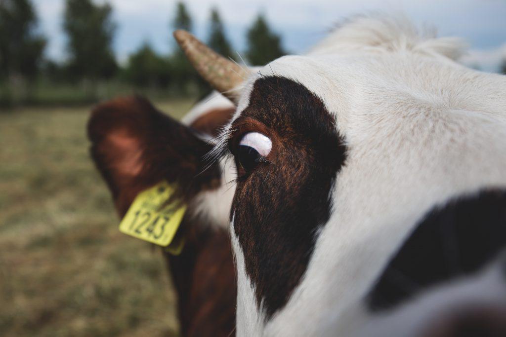 Crazy cow - free stock photo