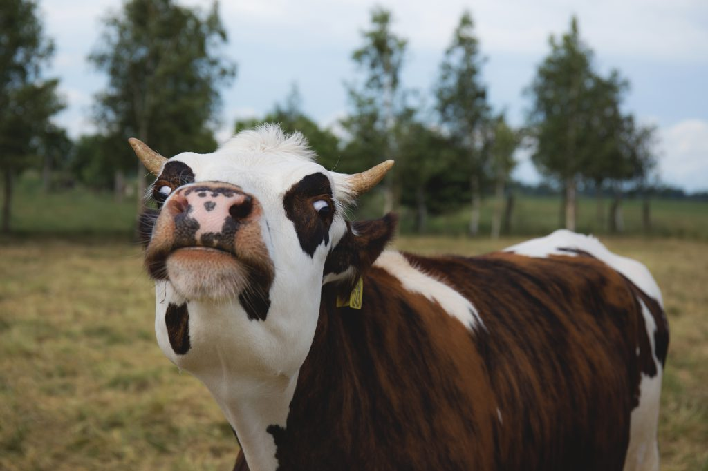 Crazy cow 2 - free stock photo