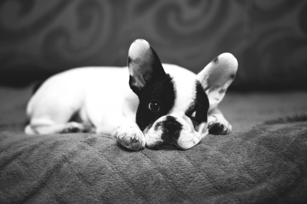 Cute puppy on a sofa - free stock photo