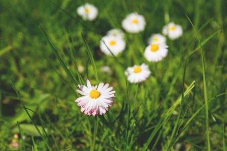 Daisies 2 - free stock photo