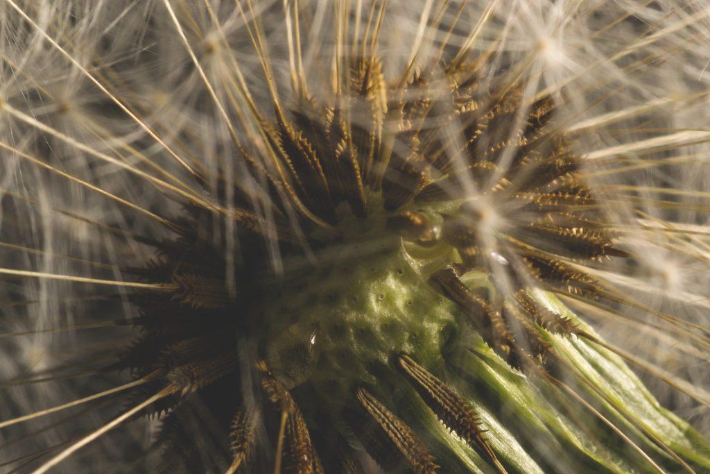 Dandelion macro - free stock photo