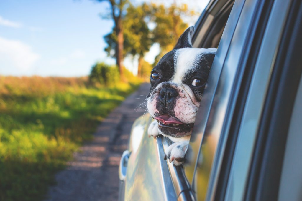 Dog riding in the car - free stock photo