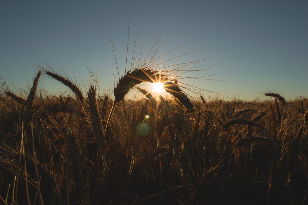 Field of barley - free stock photo