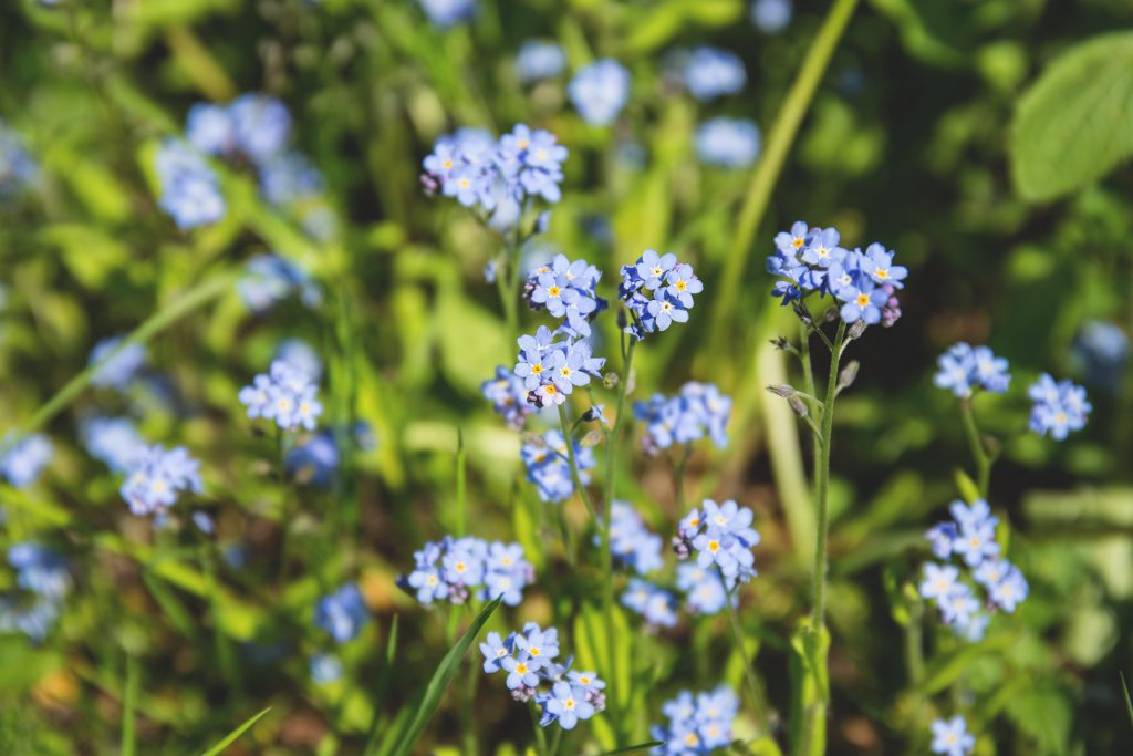 Forget-me-nots - free stock photo