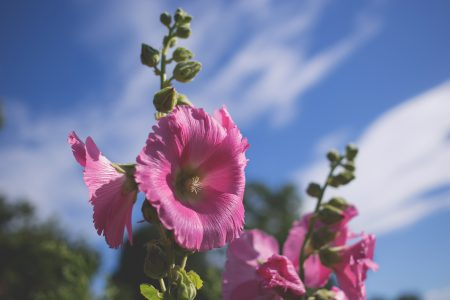 Hollyhock - free stock photo