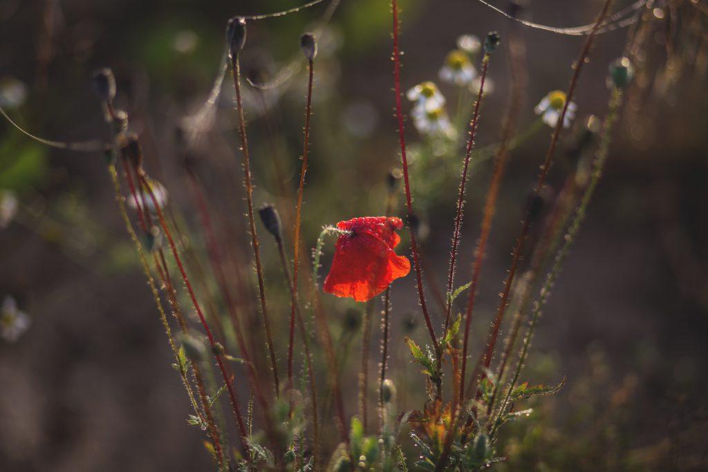Poppy - free stock photo