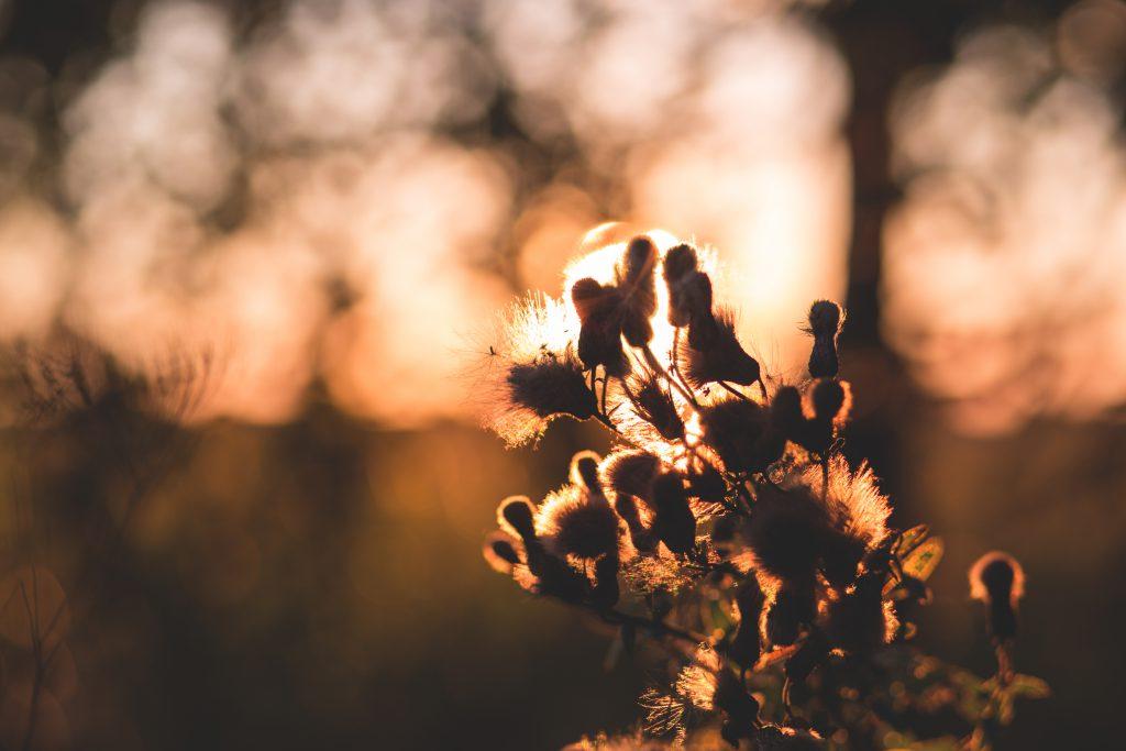 Thistle in sunset light - free stock photo