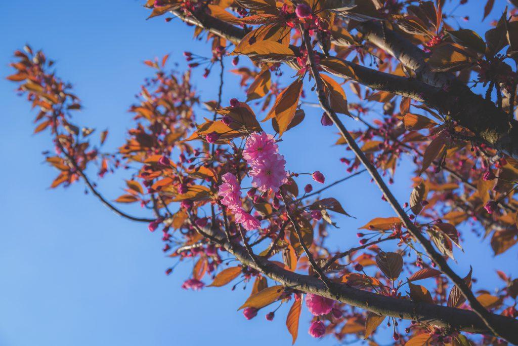 Tree blossom 3 - free stock photo