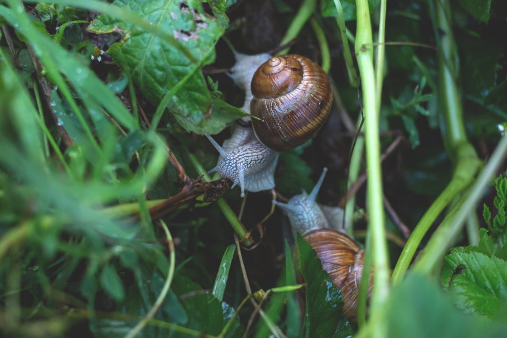 Two snails in grass - free stock photo