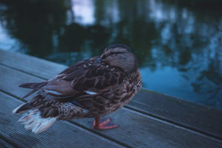 Wild duck on the pier - free stock photo
