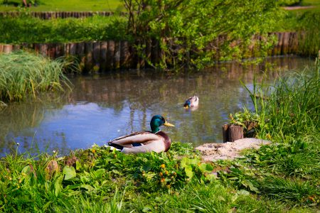 Wild ducks in a pond - free stock photo