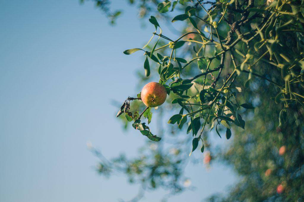 Apple tree and mistletoe - free stock photo