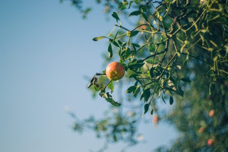 Apple tree and mistletoe - free stock photo