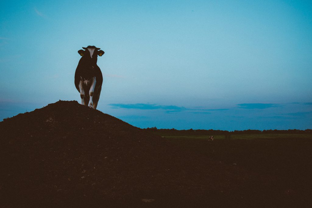 Cow on a gravel hill 2 - free stock photo