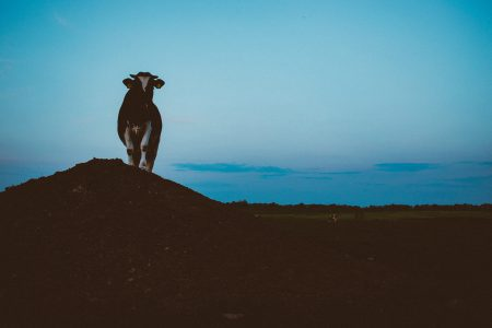Cow on a gravel hill 2