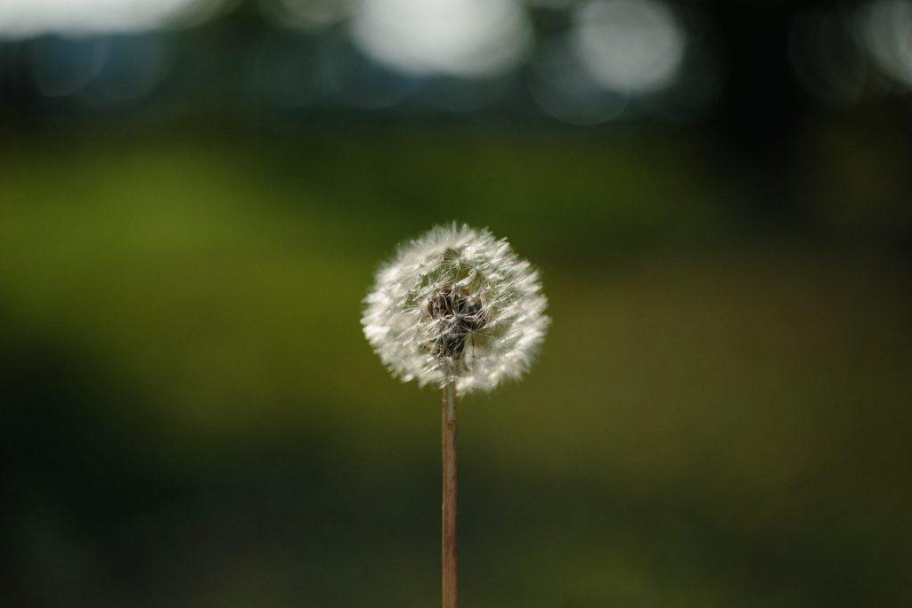 Dandelion - free stock photo