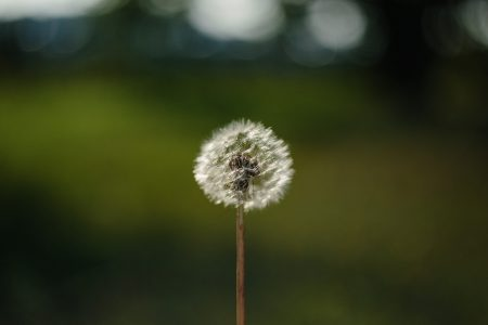 Dandelion - free stock photo