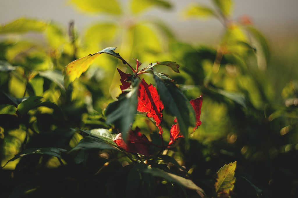 First red leaf - free stock photo