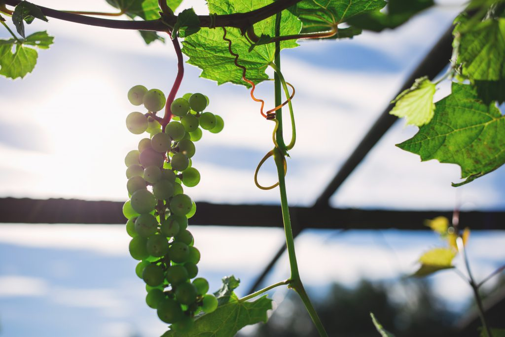 Green grapes 4 - free stock photo