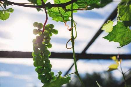 Green grapes 4 - free stock photo