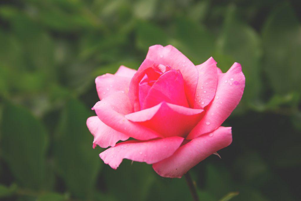 Pink rose - free stock photo