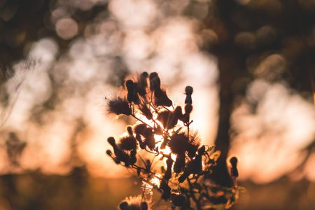 Thistle in sunset light 2 - free stock photo