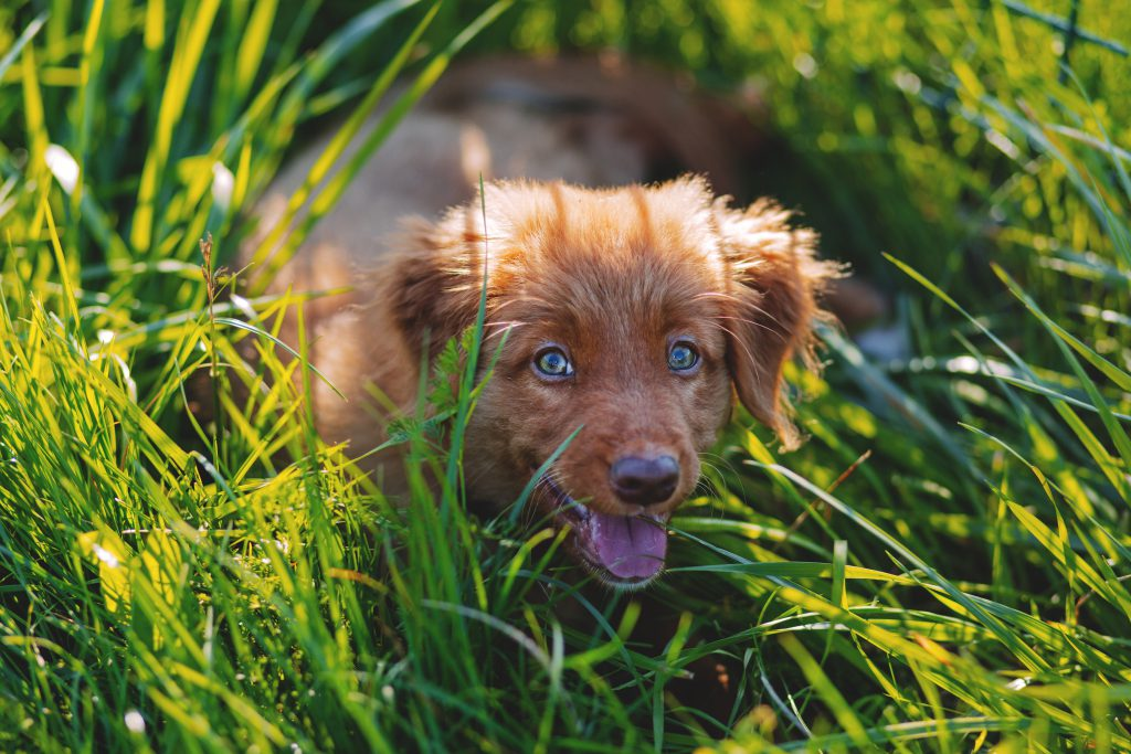 Toller puppy - free stock photo
