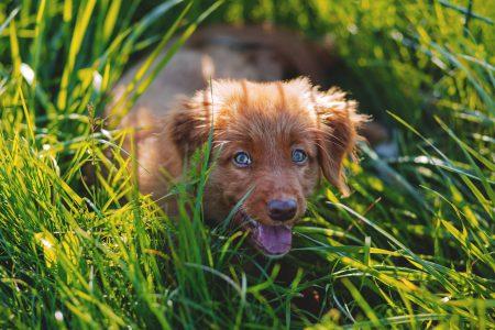 Toller puppy