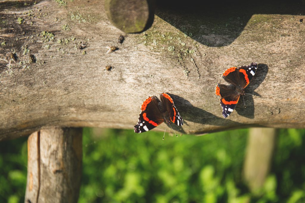 Two butterflies - free stock photo