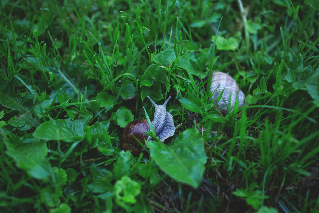 Two snails in grass 2 - free stock photo