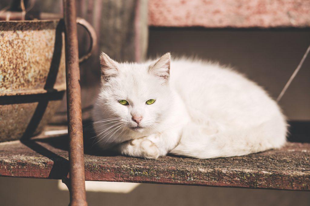 White cat - free stock photo