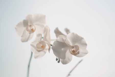 White orchid - free stock photo