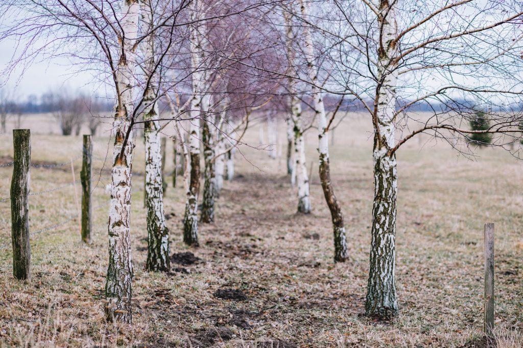 Birches in autumn - free stock photo