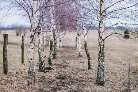 Birches in autumn - free stock photo