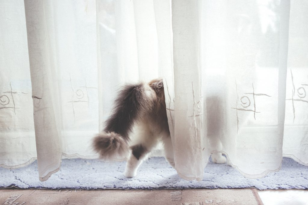 A cat behind the curtain - free stock photo