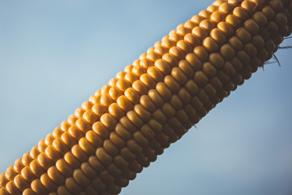 Corn - free stock photo
