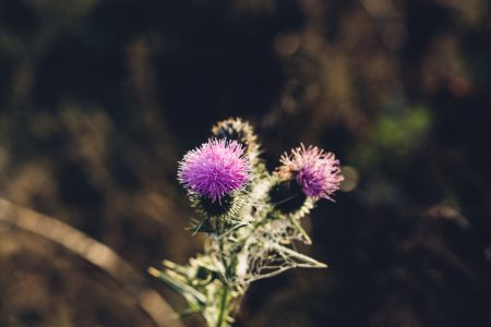 Dew on a purple thistle - free stock photo