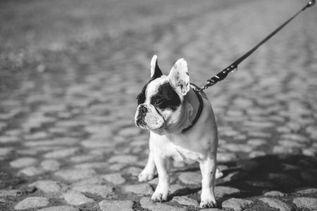 Dog on the leash - free stock photo
